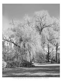 Weeping Willow, Brooklyn Botanic Garden