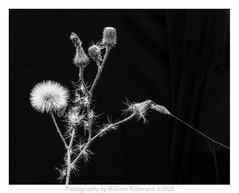 Thistle, Cobweb