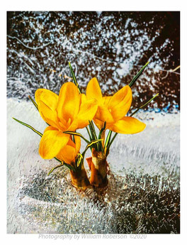 Crocus, Ice