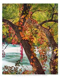 Tree, Rapids, Three Sisters Islands