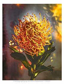 Proteaceae-3-mini.jpg