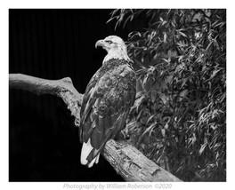 Bald Eagle, Bronx Zoo