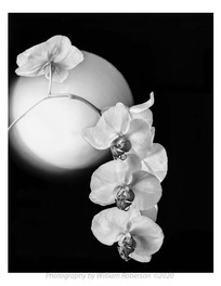 Moth Orchid, Sphere