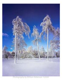 Mist-Frozen Trees, Niagara