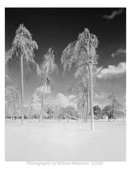 Trees, Frozen Mist #2