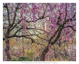 Cherry Blossoms, BBG #2