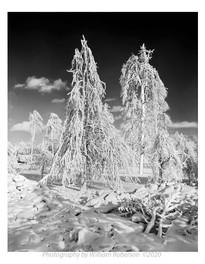Trees, Frozen Mist