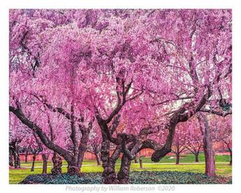 Cherry Trees, BBG #2