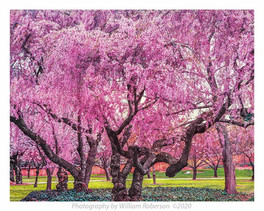 Cherry Trees, BBG #2