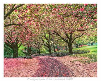 Cherry Blossoms, BBG