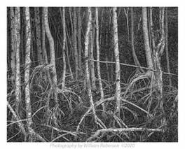 Mangroves #2