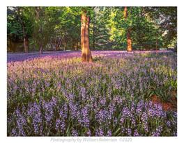 Blue Bells, Brooklyn Botanic Garden #2