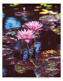 Water Llilies, Brooklyn Botanic Garden #3
