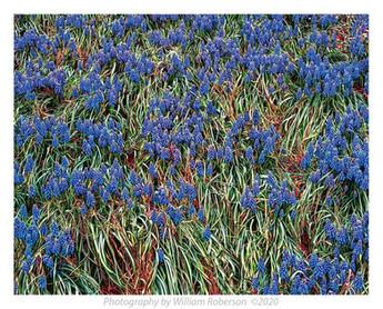 Blue Bells, Brooklyn Botanic Garden #6