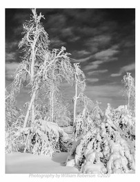 Trees, Frozen Mist #3