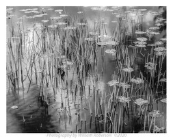 Lily Pads #2