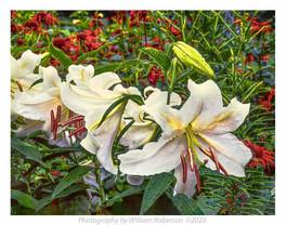 Lilies, Brooklyn Botanic Garden