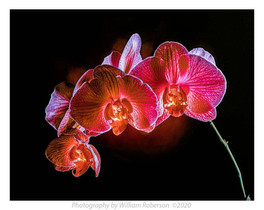 Moth Orchid #5