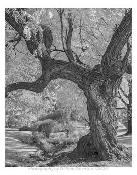Oak, Brooklyn Botanic Garden