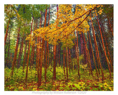 Pine Forest, Essex County