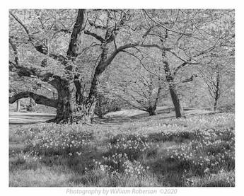 Oak, Daffodils, Brooklyn Botanic Garden