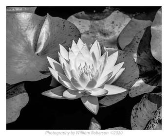 Water Lily, Brooklyn Botanic Garden #2