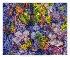 Lichens, Catamount