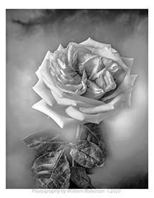 Rose-mini.jpg