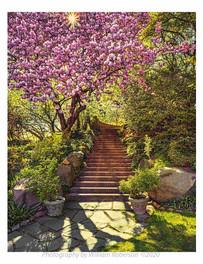 Sun, Cherry Blossoms, BBG