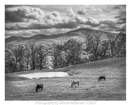 Horses, Albany County