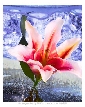 Lily, Blue Ice