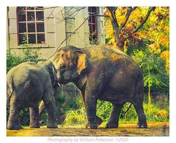 Elephants, Bronx Zoo
