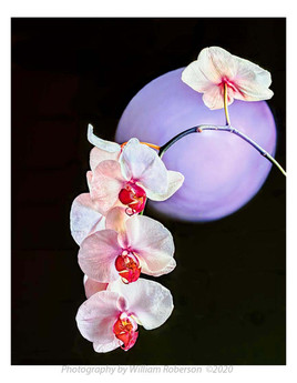 Orchid, Purple Sphere