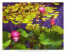 Sacred Lotus #4
