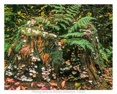 Mushrooms, Stump, Hopkins Trail