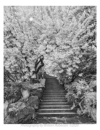 Cherry Trees, Brooklyn Botanic Garden