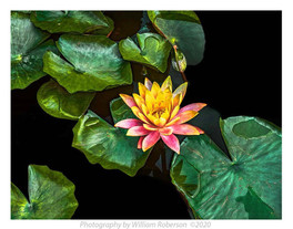 Water Lily BBG #3