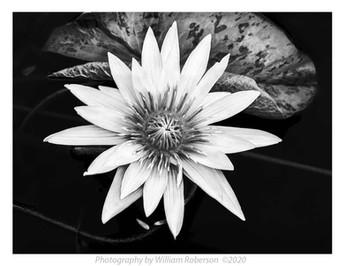 Water Lily, Brooklyn Botanic Garden #5