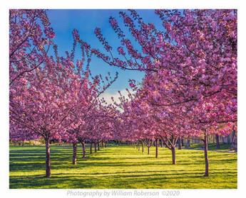 Cherry Trees, BBG