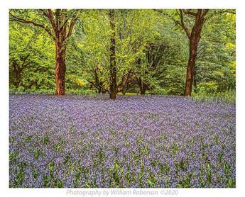 Blue Bells, Brooklyn Botanic Garden #4