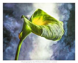 Green Calla Lily