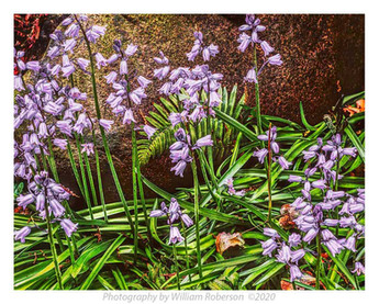 Blue Bells, Brooklyn Botanic Garden #3