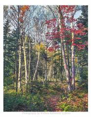 Birches, Autumn #2