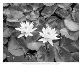 Waterlilies, Brooklyn Botanic Garden #4