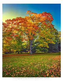 Tree, Vanderbilt Estate