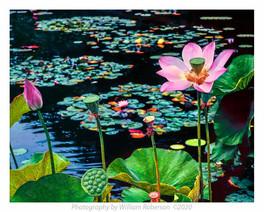 Sacred Lotus #2