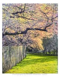 Cherry Blossoms, Japanese Garden, BBG