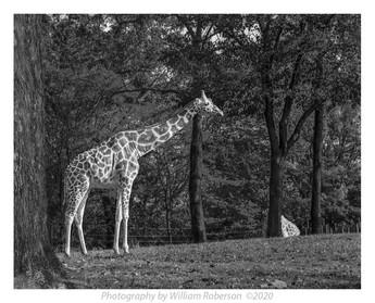 Giraffe, Bronx Zoo