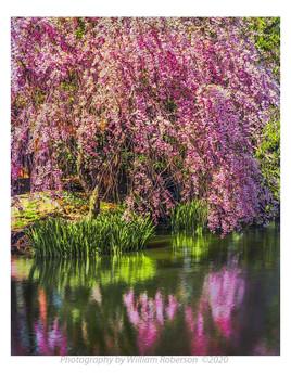Cherry Blossoms, BBG #3