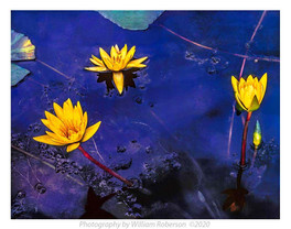 Water Lilies, BBG #5